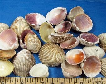"Florida Gulf Cockle Shells (25+) under 2"" Marco Island clam shells, hand selected, shell craft, beach decor,ocean, nautical theme, aquariums"