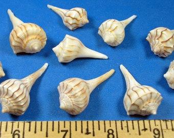 "10 Florida Lightning Whelk seashells-(1 1/ 2""- 2"") Marco Island hand selected, shell craft, beach decor,ocean, nautical theme, aquariums"