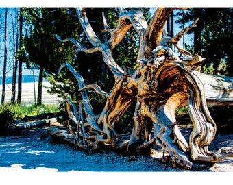 Fine Art Landscape Photography - The Roots Manuva, Nature Photography, Yellowstone, Tree, Wyoming, Prints, Canvas