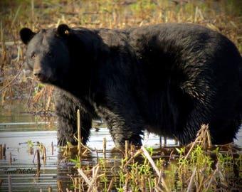 Black Bear- Matted Print