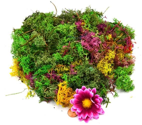 Muwse 100 Stk Amberbaum Zapfen Natur trocken Mini-Zapfen Deko Floristik Basteln