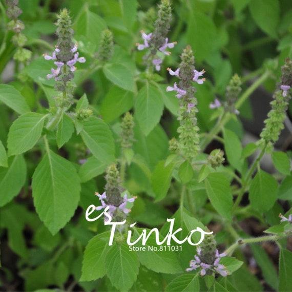 100pcs Basil /'Sweet Green/' Seeds Ocimum Basillicum Half-hardy Annual Herb Plant