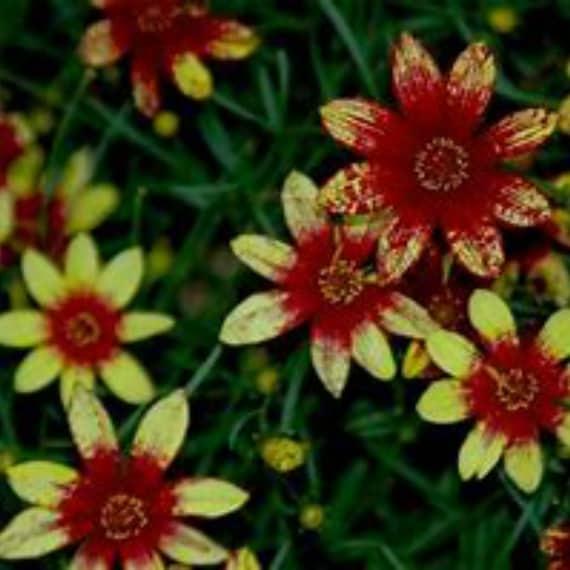 200pcs Coreopsis 'Route 66' Potted Seeds Home Garden Bonsai Flower Plant DIY