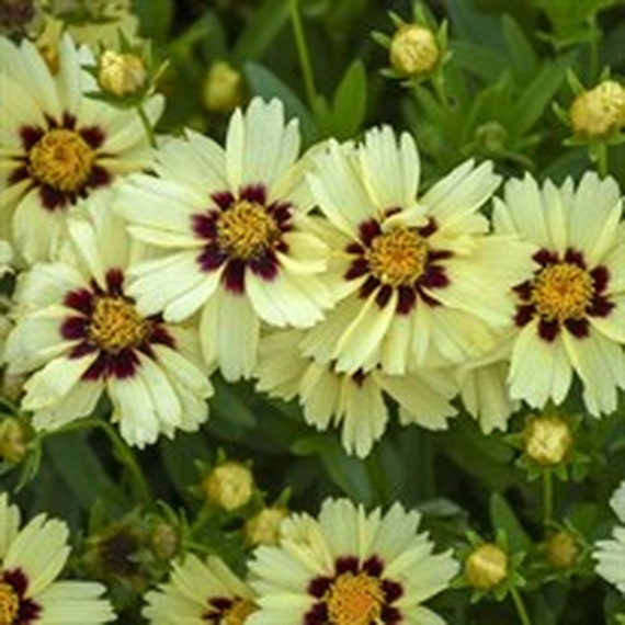 200pcs Coreopsis 'UpTick Cream Red' Potted Seed Home Garden Bonsai Flower Plant