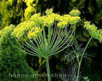 5,000 Dill Seeds Bouquet Pickle Spice Seeds 65 days