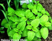 2500 seeds - LEMON BALM - melissa officinalis - herb seeds