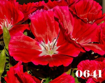 Farewell-to-Spring GODETIA GRAND CLARKIA AMOENA BRILLIANT RED 2000 seeds