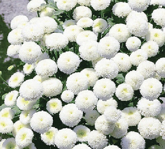 SPECIAL MIX BALL FLOWER SEPARATE TWO COLOURS Chrysanthemum p 1600 SEEDS #855#2