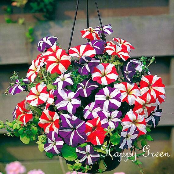 FLOWER TRAILING PETUNIA MIX BALCONY 4 000 SEEDS 0.5g Petunia hybrida pendula