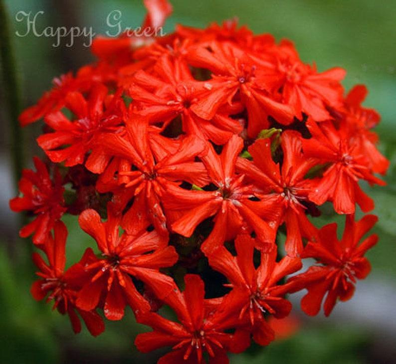 Saponaria Fiore Saponaria ocymoides Confezione Grande 2000 Seme Perenne