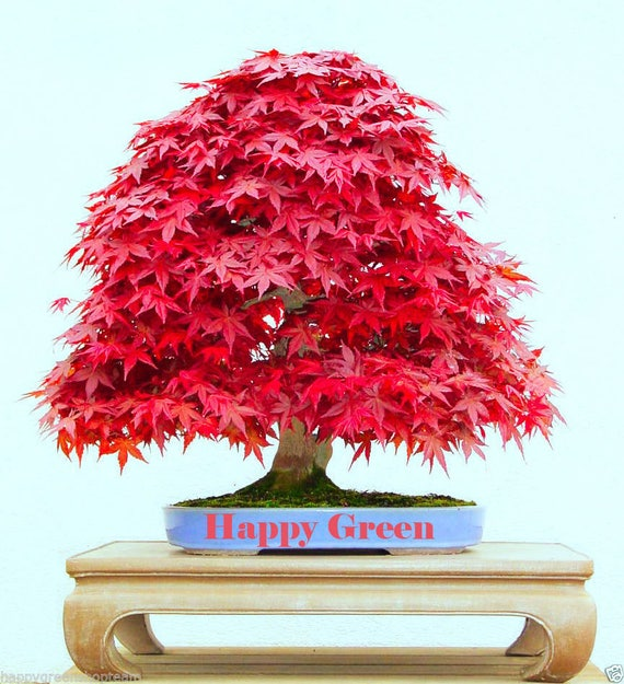 10 Seeds Red Japanese Maple Acer Palmatum Atropurpureum Etsy