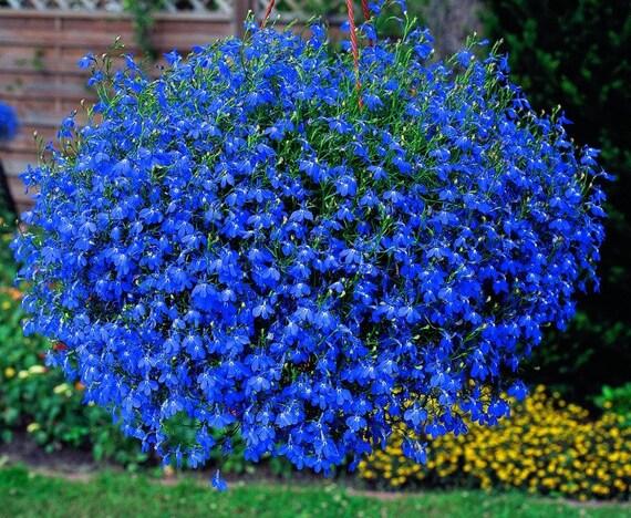 7000 Seeds Trailing Lobelia Blue Sapphire Lobelia Pendula Etsy