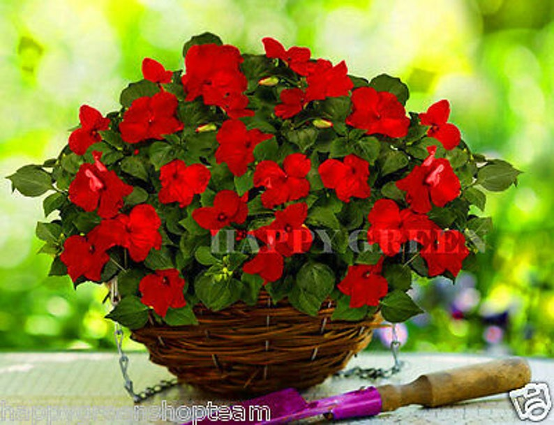 BUSY LIZZIE RED Baby Series 130 seeds Impatiens   Etsy
