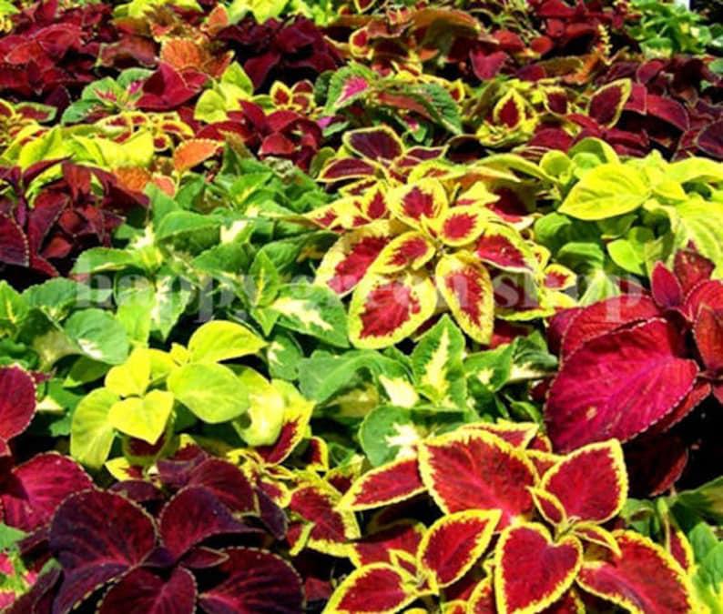 700 Seeds Coleus Rainbow Mix Annual Plant Etsy