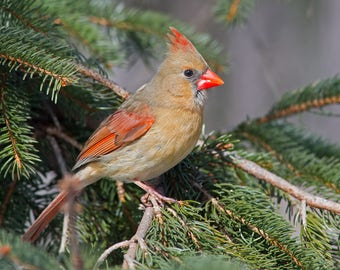 Northern Cardinal Photo Print, Large Art Print Nature Photography, Affordable Wall Art