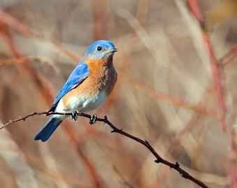 Eastern Bluebird Photo Print, Large Art Print Nature Photography, Affordable Wall Art