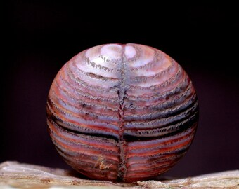 Python Snakeskin stone cabochon #M003 fossilized palate