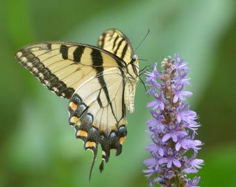 Framed Eastern Tiger Swallowtail