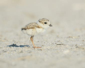 Framed Piping plover chick