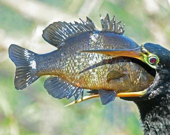 Framed Anhinga eating fish