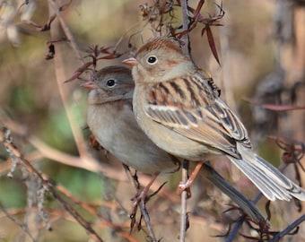 Framed Field Sparrows