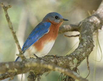 Framed Eastern Bluebird