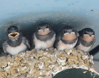 Framed Barn Swallow chicks