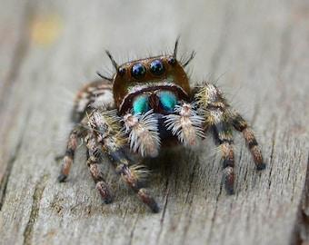 Framed Jumping spider
