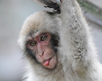 Framed Japanese Macaque