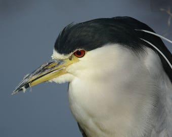 Framed Black-crowned Night Heron
