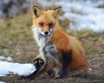 Framed Red Fox
