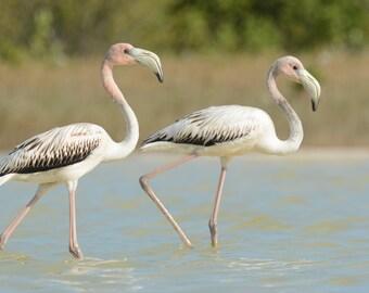 Framed Juvenile Flamingos
