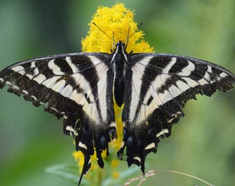 Framed Pale Tiger Swallowtail