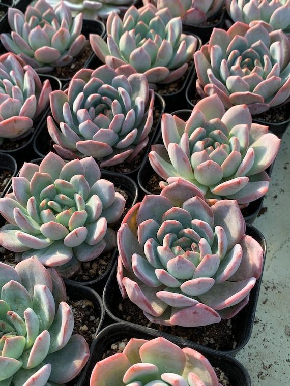 Echeveria /'beauty lily/' 美丽娜莲 Imported from Korea Rare Succulent PRESALE