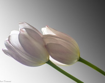 Flowers: Light Pink Tulips
