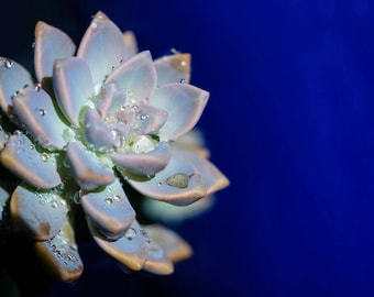 Flowers; Rain water droplets on Cactus Photo, Print, Blue Background, Botanical Print, Wall Art, Nature Photography, Plant Photo