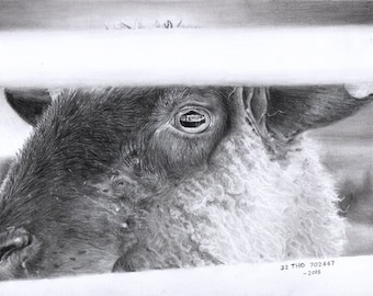 Bubbles - Drawing of a Sheep Bound for Slaughter (30% of profits go to an animal sanctuary)