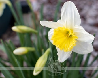 White and Yellow Daffodil Flower Landscape Photograph Digital Download Wall Art