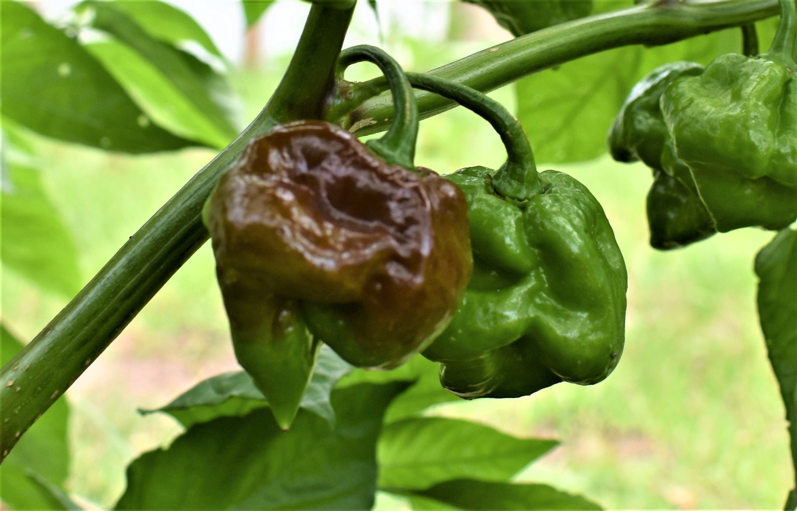 Jamaican Hot Chocolate Chilli Pepper Seeds