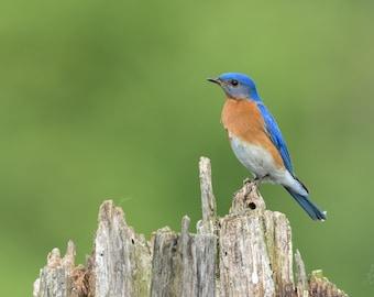 Eastern Bluebird Profile