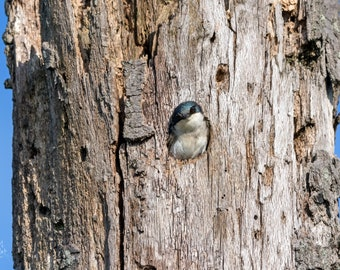 Tree Swallow at Home
