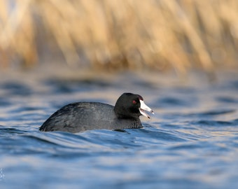 American Coot on the Water