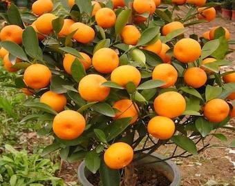 Mandarin Orange Tree Seeds - Citrus reticulata 'Blanco' - Ornamental Indoor Outdoor Healthy Medicinal Apothecary Fruit - 10, 20 or 40 seeds