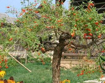 samen,semi,sementes,semillas,seeds Lycium Ruthenicum 1000 graines,zaden Goji