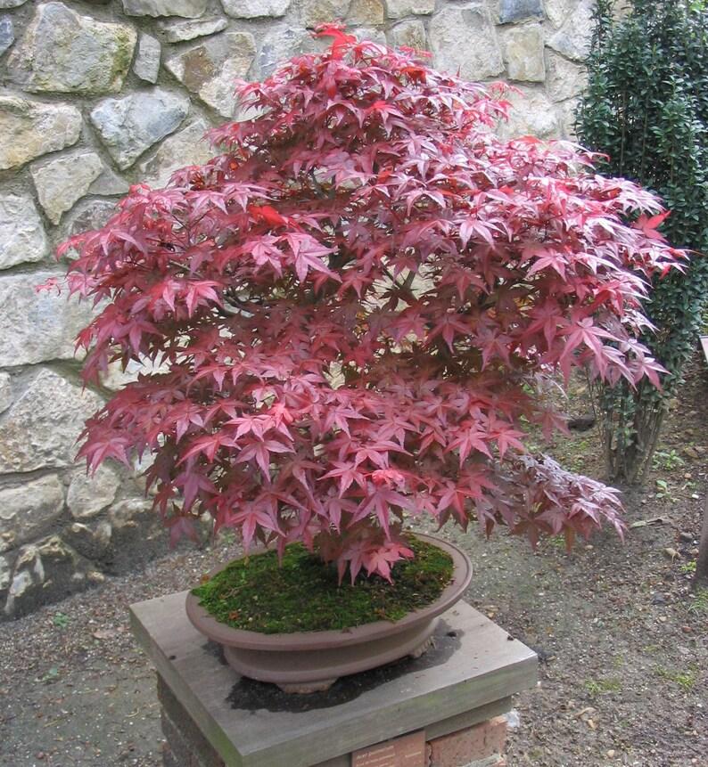 25 Red Japanese Maple Tree Seeds Acer Palmatum Etsy