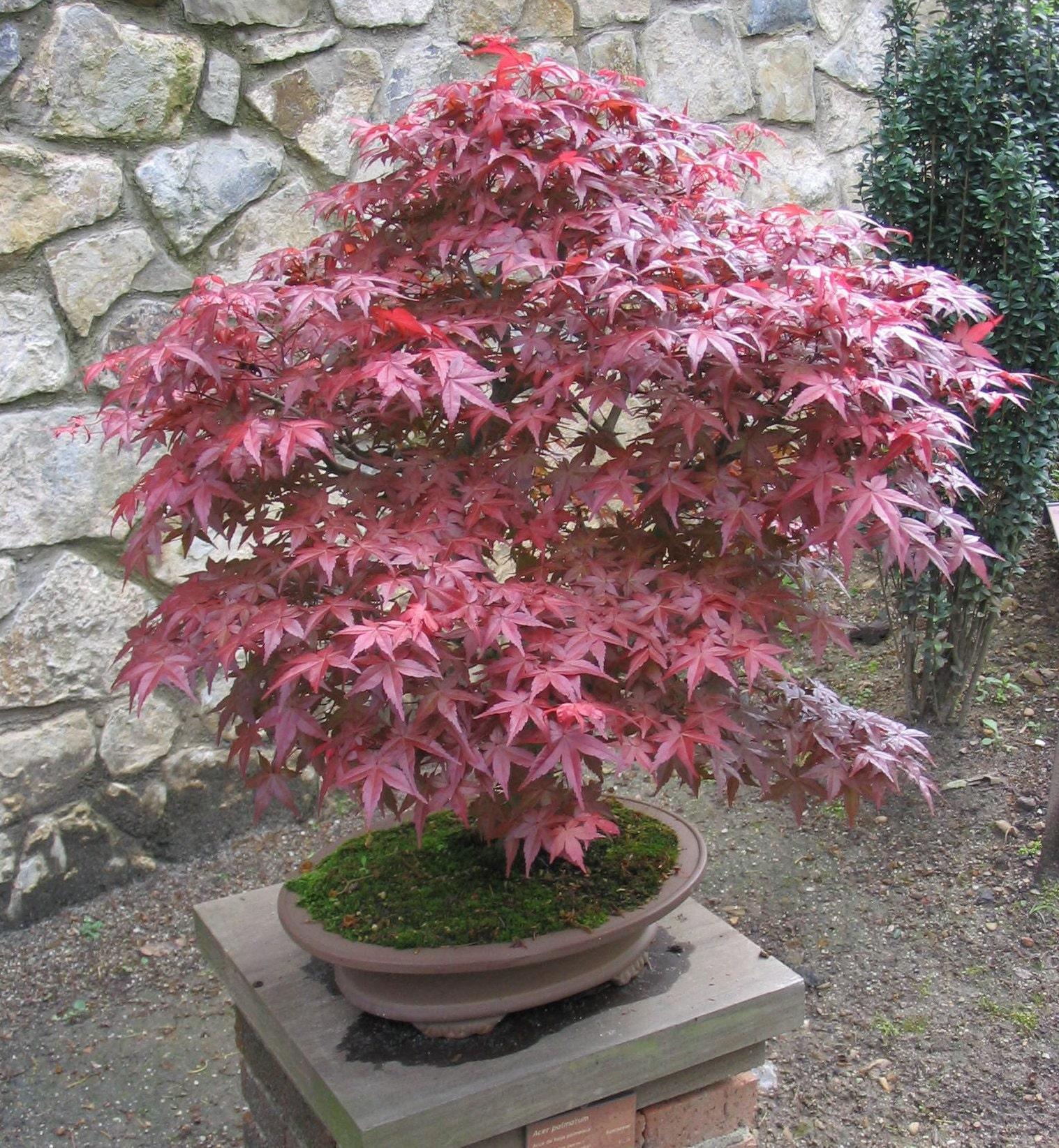 Acero Giapponese Verde acer palmatum 'atropurpureum' giardino e arredamento esterni