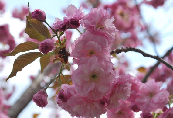 15 Japanese Cherry Blossom Tree Seeds Prunus Serrulata Etsy