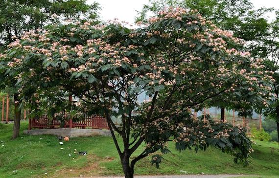 25 Persian Silk Tree Seeds Albizia Julibrissin Etsy