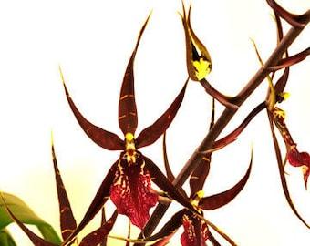 Wilhelmara Pinot Princess 'Nite Naulege'  Oncidium type Orchid