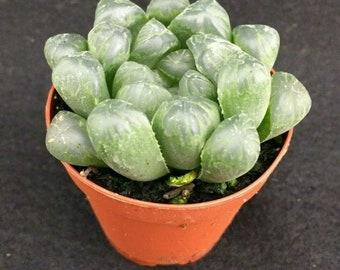 """cooperi pilifera Succulent Plant Size Around 1-1.5/"""" Haworthia sabita"""